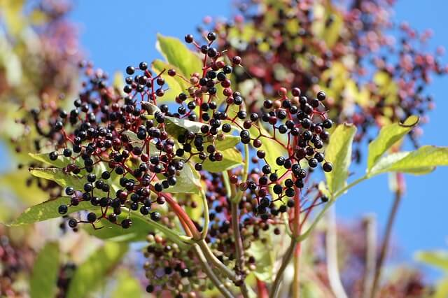 Elderberry will help with digestion